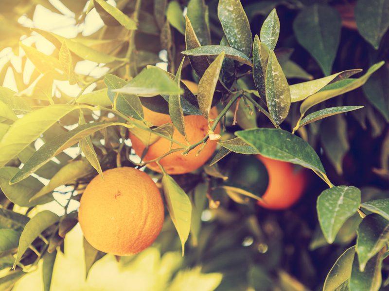 Olio essenziale di arancio dolce romana per lo spray rilassante Sweet dreams